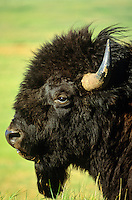 Bull bison face, at Theodore Roosevelt National Park, North Unit, North Dakota, AGPix_0071.
