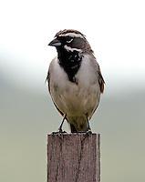 Adult black-throated sparrow on post
