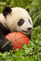 9 month old giant panda cub with basket ball.    (Ailuropoda melanoleuca) China Conservation and Research Center for the Giant Panda,  Wolong Nature Reserve
