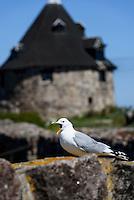 Sturmmöwe (Larus canus) und Lille Tårn (Kleiner Turm) auf Frederiksø, Ertholmene (Erbseninseln) bei Bornholm, Dänemark, Europa<br /> common gull (Larus canus) and Lille Tårn (little tower) on Frederiksø, Ertholmene, Isle of Bornholm Denmark