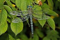 Kleine Mosaikjungfer, Früher Schilfjäger, Brachytron pratense, Hairy Dragonfly, Hairy Hawker, Spring Hawker, Aeshnidae, Aeschnidae, Edellibellen