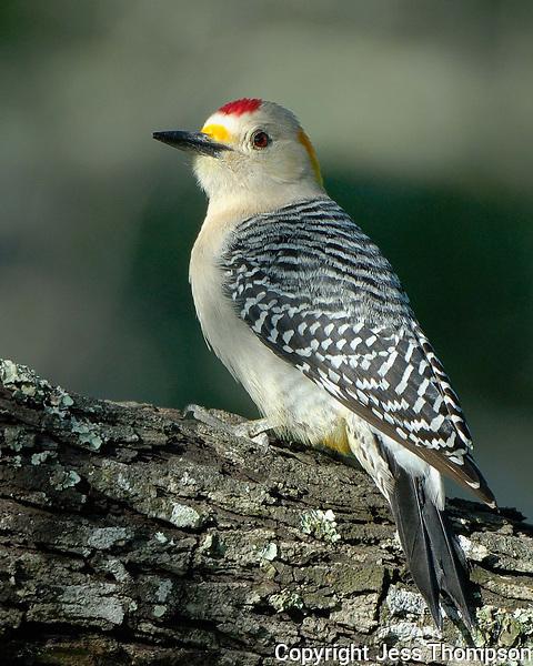 Golden-fronted Woodpecker, El Tecalote Ranch, South Texas
