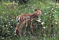 MA11-050z  White-tailed Deer - fawn - Odocoileus virginianus