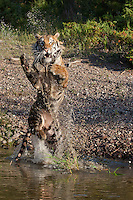 Siberian Tiger jumping out of the wate - CA