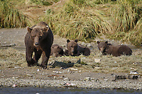 A photo of a sow grizzly with three cubs. Grizzly Bear or brown bear alaska Alaska Brown bears also known as Costal Grizzlies or grizzly bears Grizzly Bear Photos, Alaska Brown Bear with cubs. Purchase grizzly bear fine art limited edition prints here Grizzly Bear Photo Bear Photos,