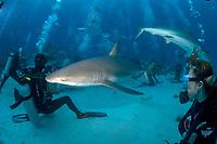 Shark rodeo, Caribbean reef sharks, carcharhinus perezii, at shark feed, Stuart's Cove, Nassau, Bahamas