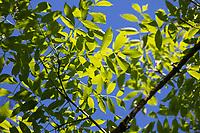 Esche, Gemeine Esche, Gewöhnliche Esche, Blatt, Blätter, Laub, Fraxinus excelsior, Common Ash, European Ash, leaf, leaves, Le Frêne commun, Frêne élevé