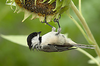 "Black-capped Chickadee.<br /> A bird almost universally considered ""cute"" thanks to its oversized round head, tiny body, and curiosity about everything, including humans."
