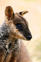 Brush-tailed Rock Wallaby, The Grampians, Victoria