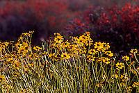 Bristlebush in Anzo-Borrego Desert State Park