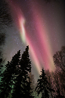 The aurora borealis hovers over spruce trees in Fairbanks, Alaska.