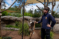 BNPS.co.uk (01202) 558833. <br /> Pic: ZacharyCulpin/BNPS<br /> <br /> Pictured: Keeper James Dennis gets the koala in to position <br /> <br /> Keepers at a safari park are are using a novel method to weigh their koalas. <br /> <br /> Rather than attempt to get the adorable marsupials to stay still on a weighing machine, staff at Longleat Safari Park in Wiltshire use a set of scales attached to an adapted wooden branch, which the koalas happily hold on to.<br /> <br /> Weight is a key indicator of a koala's health and each individual animal has to be weighed twice a week to ensure they're in top condition.