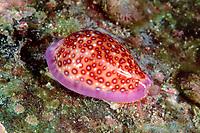 cowry, Cypraea allisonae, Cocos Island, Costa Rica, East Pacific Ocean