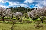 Spanien, Mallorca, bei Felanitx: bluehende Mandelbaeume | Spain, Mallorca, near Felanitx: almond blossom