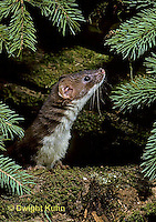 MA21-034z   Long-Tailed Weasel - summer brown coat - Mustela frenata