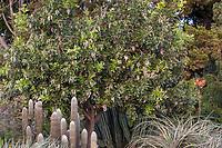 Dermatophyllum secundiflorum (aka Sophora secundiflora) Texas Mountain Laurel or Mescal bean, small evergreen drought tolerant tree in Los Angeles County Arboretum