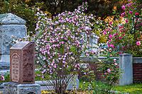 Rosa webbiana - Old species rose flowering among headstones in Sacramento Old City Cemetery graveyard