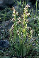 Navel-Shaped Ophyrs, Ophrys umbilicata, blossom, Samos, Greek Island, Greece, April 1994