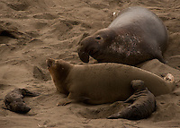 Elephant Seals at a colony in Big Sur.