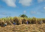 MUS, Mauritius: Frauenarbeit - Zuckerrohrernte | MUS, Mauritius: local women harvesting sugar cane