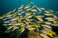 Shoal of Blue and gold snapper, Lutjanus viridis, Cocos Island, National Park, Natural World Heritage Site, Costa Rica, East Pacific Ocean