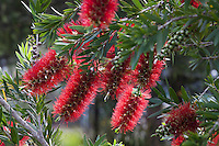 Callistemon 'Macarthur', Red flowering summer-dry Bottlebrush shrub, Australian Native Plant Nursery, Ventura, California