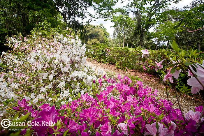 Azalea gardens at the Reflection Pool, Middleton Place Plantation, Ashley River Road, Charleston, SC