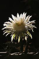 Night-Blooming Cereus (Peniocereus greggii), blossom at night, Rio Grande Valley, Texas, USA