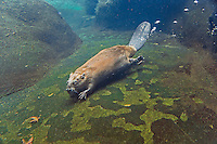 North American Beaver (Castor canadensis) swimming underwater.  Pacific Northwest,  Fall.