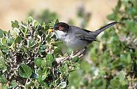 Samtkopf-Grasmücke, Samtkopfgrasmücke, Männchen, Grasmücke, Sylvia melanocephala, Sardinian Warbler