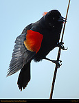 Red-winged Blackbird, Male Perched on a Reed, Sepulveda Wildlife Refuge, Southern California