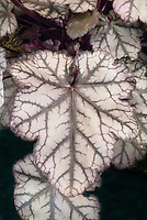 Heuchera 'Jade Gloss' foliage