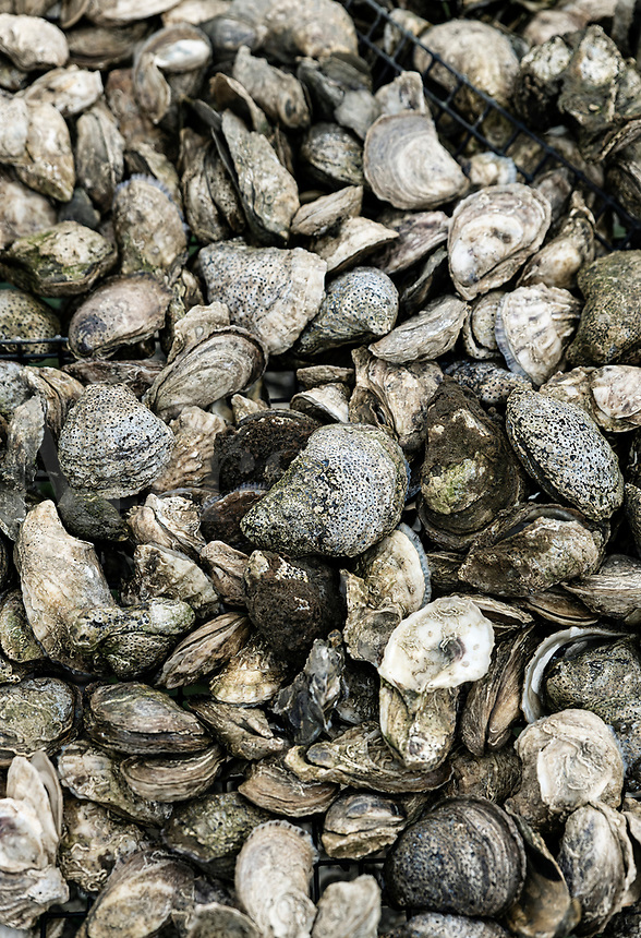 Fresh oyster harvest, Wellfleet, Cape Cod, Massachusetts, USA.