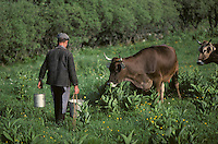 Europe/France/Languedoc-Roussillon/48/Lozère/Aubrac : Après la traite des vaches<br /> PHOTO D'ARCHIVES // ARCHIVAL IMAGES<br /> FRANCE 1980