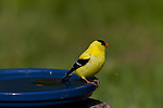 American Goldfinch perched on a bird bath