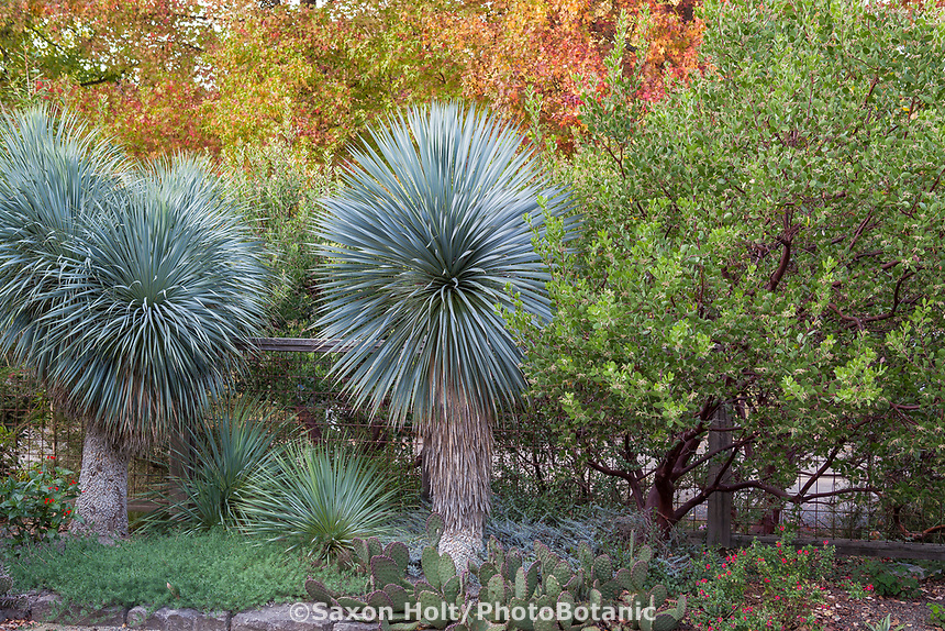 Yucca rostrata with Arctostaphylos (manzanita) against autumn trees foliage backdrop, in Kuzma front yard garden in autumn. Photo MUST be credited as Design by Sean Hogan.