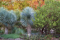 Yucca rostrata with Arctostaphylos (manzanita) against autumn trees foliage backdrop, in Kuzma front yard garden in autumn