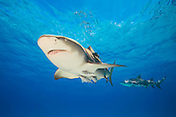lemon sharks, Negaprion brevirostris, with sharksuckers, Echeneis naucrates, Grand Bahama, Bahamas, Caribbean Sea, Atlantic Ocean