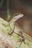 Common Basilisk, Jesus Christ Lizard, Basiliscus basiliscus, female, Manuel Antonio National Park, Central Pacific Coast, Costa Rica, Central America
