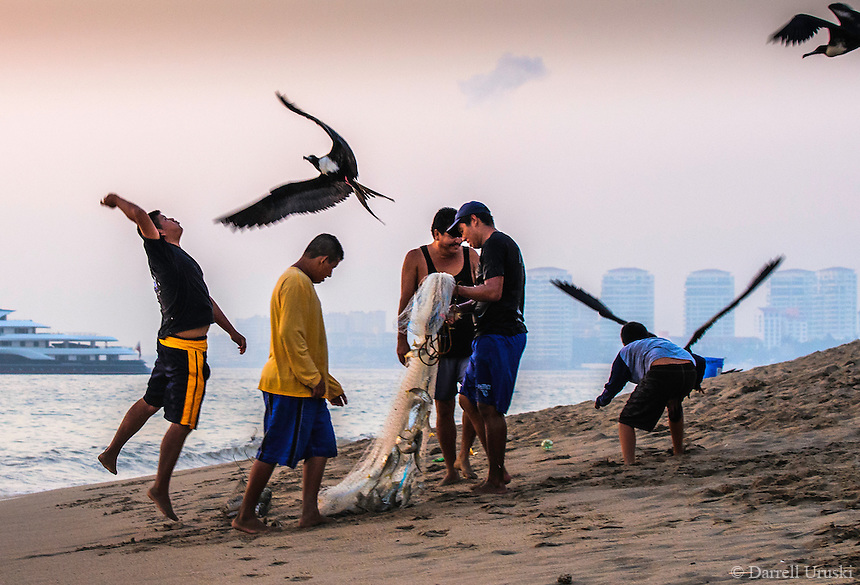 Fine Art Print Photograph of a flock of Magnificent, Frigate Birds diving for fish from the fisherman's nets.
