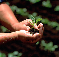 Close up detail of hands gently cupping a sugar beet seedling.