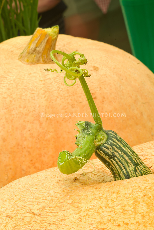 Curcurbita pumpkin gourd stem closeup vegetable