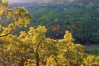Scrub oak in morning light, Capitol Peak trailhead.<br /> <br /> Canon EOS 5D Mk II, 50mm f/1.8 lens