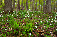 Large-flowered trillium (Trillium grandiflorum) in spring forest, Blue Ridge Parkway