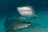 tiger shark, Galeocerdo cuvier, and lemon shark, Negaprion brevirostris, Little Bahama Banks, Bahamas, Caribbean Sea, Atlantic Ocean