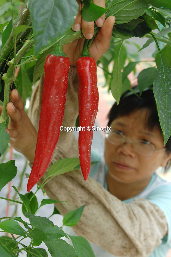 "A scientist looks at large chiles at the ""Space Breeding Exhibition Yard"" at the Guangdong Academy of agricultural Sciences, 50 miles outside Guangzhou city. Chinese scientists claim that vegetables and fruit cultivated from the space seeds are larger, more nutritious and safe to eat...PHOTO BY SINOPIX"