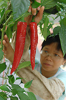 """A scientist looks at large chiles at the """"Space Breeding Exhibition Yard"""" at the Guangdong Academy of agricultural Sciences, 50 miles outside Guangzhou city. Chinese scientists claim that vegetables and fruit cultivated from the space seeds are larger, more nutritious and safe to eat...PHOTO BY SINOPIX"""