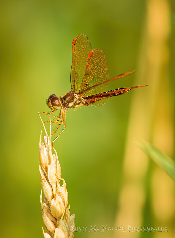 Male Eastern Amberwing dragonfly