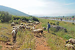 The peloton roll by some local sheep and herder during Stage 7 of the 2015 Presidential Tour of Turkey running 166km from Selcuk to Izmir. 2nd May 2015.<br /> Photo: Tour of Turkey/Mario Stiehl/www.newsfile.ie