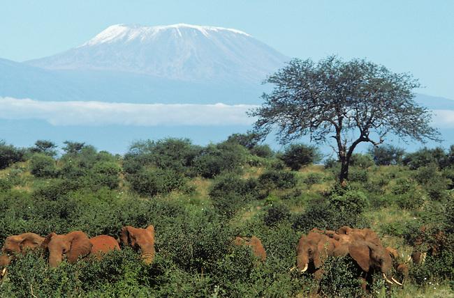 Herd of elephants (Loxodonta africana) feeding in savanah, Mount Kilimanjaro in background. Tsavo West National Park, Kenya.